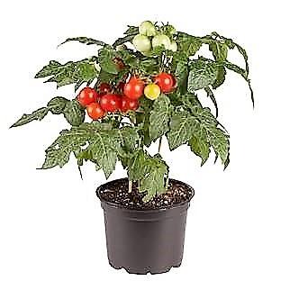 Siam F1 – pot tomato