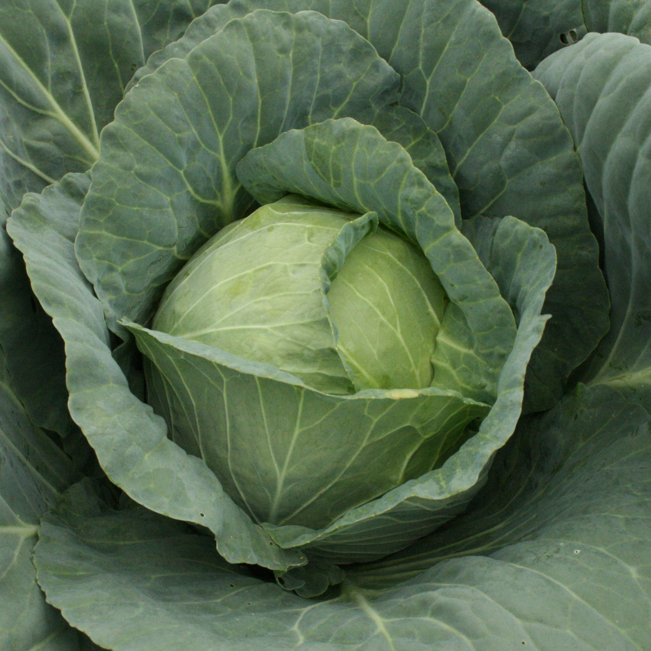 White Cabbage Victoria in Nigeria